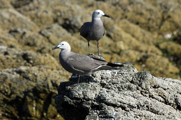 """Gray Gull (Leucophaeus modestus) - known locally as """"Gaviota Garuma"""". They breed exclusively in the Atacama Desert region of northern Chile - but live along the coastal areas of Ecuador, Peru, and south-central Chile (vagrants found further northward)."""