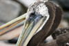 Peruvian Pelican -  the facial skin is dark gray, with restricted pink around the eye.