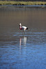 Andean Flamingo - reflection, and grassy shoreline distal.