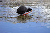 Giant Coot - adults specimens are the only coot species with distinctively large reddish feet (with lengthy nails).
