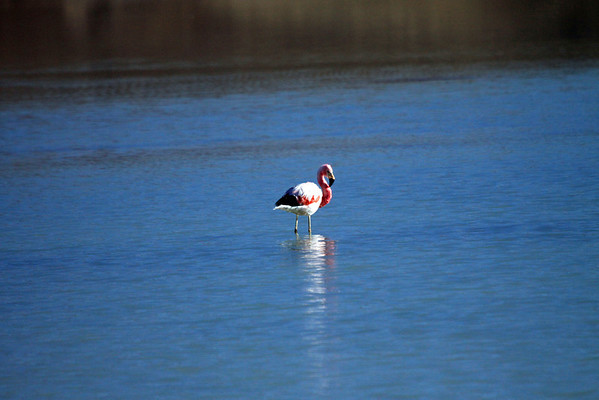 Early morning sunlight on an Andean Flamingo - the largest of the 4 South American Species.