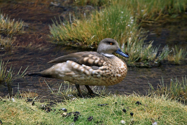 Andean Crested Duck - these specimens grows to about 1.5 ft. (46 cm) in length.
