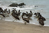 Peruvian Pelicans - along the sandy and rocky shoreline of Caleta Pan de Azucar - Atacama (region).