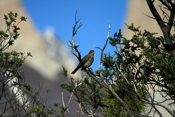 Austral Thrush or Magellan Thrush - juvenile specimen (speckled breast) - with the Torres del Paine in the background.