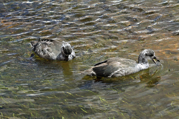 Juvenile Giant Coots - foraging in the waters of the high Andean Plateau.