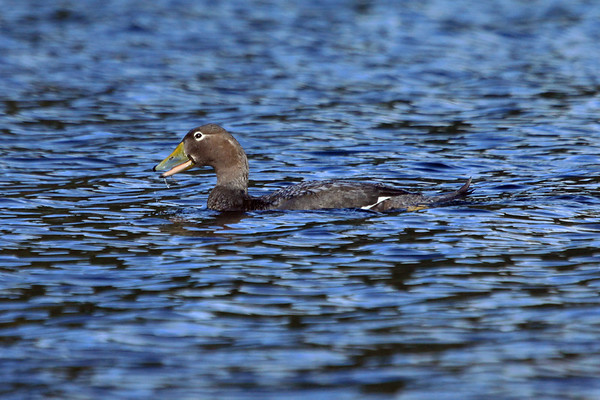 Flying Steamer Duck (Tachyeres patachonicus) - this specimen on Lago Quilleihue - the Puesco sector of Villarrica National Park - very southeastern Araucania (region) - central Chile - less than 1 mi. (1.6 km) from the Argentina border, province of Neuquen.