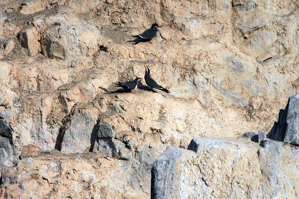 Call of an Inca Tern