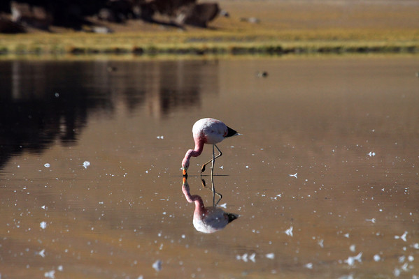 Andean Flamingo reflection - with the rock outcrop reflection distal, along with two Andean Crested Ducks.