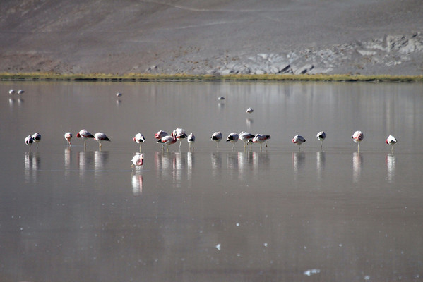 Andean Flamingos - in the early morning sunlight, upon Laguna Santa Rosa - with its reddish/brown color reflected from the mostly barren mountainous terrain of the southwestern Puna Atacama, the southern Andes Plateau - Nevado Tres Cruces Nationa Park - Atacama (region).