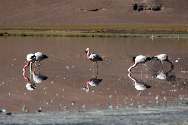 Andean Flamingos - the reflective images upon the windless early summer morning waters of Laguna Santa Rosa.