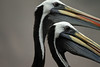 Peruvian Pelicans - with its adult plumage of white crown and neck stripe - and blackish plumage neck stripe.