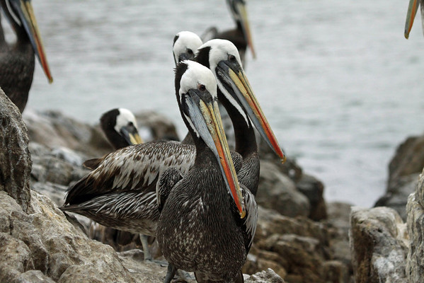 Peruvian Pelicans - the males assist the females in incubating the eggs (32-35 fays).