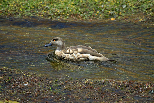 Andean Crested Duck - cruising down the Rio Putana - northwest Antofagasta (region) - Western Cordillera, of the Andean Plateau.