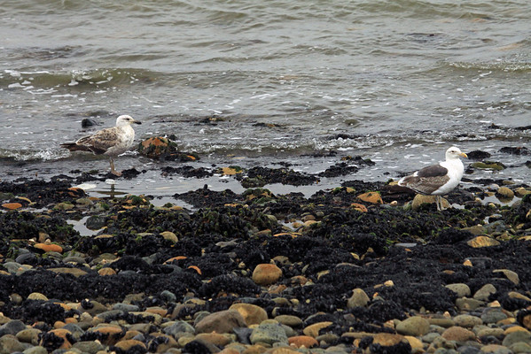 Pair of juvenile Kelp Gulls - juveniles are dark brown and mottled, with a blackish tail, dark beak, brownish legs and brown eyes. Adult plumage is usually attained by the fourth year. The specimen on the right very near maturity.