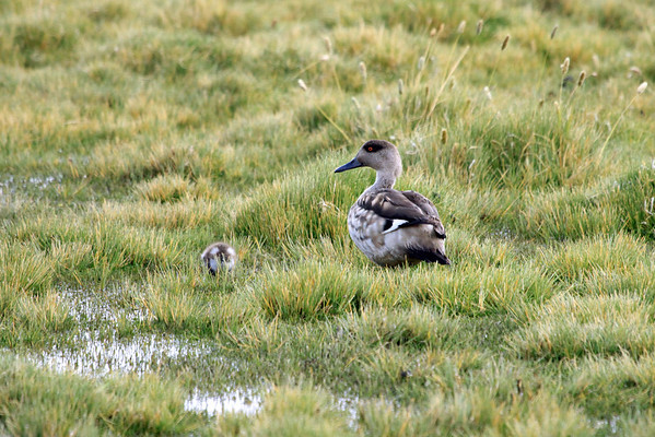 Andean Crested Duck (Lophonetta specularioides alticola) - with young immature.