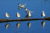 Reflections of the Brown-hooded Gulls, in the late afternoon sunlight.