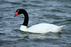 Black-necked Swan (Cygnus melancoryphus) - this species is the largest waterfowl native to South America - growing to about 4 ft. (1.1 m) long and weighing up to around 15 lb. (6.8 kg).