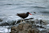 Blackish Oystercatcher (Haematopus ater ) - this species displays a blackish plumage with wings and back being rather dark brown, long red bill and white legs. Sexes are similar in appearance. This specimen feeding along the rocky shoreline at Caleta Pan de Azugar - Atacama (region).