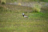 Southern Lapwing - along the grassland of Tierra del Fuego National Park - Magallanes (region).