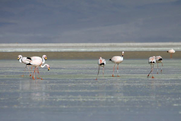 """Puna Flamingos (Phoenicoparrus jamesi) - known locally as """"Parina Chica"""" - this species is distinguished from the other 2 flamingo species found in the Andean Plateau by - red legs and feet, bright yellow bill with black tip (< 1/3 of total bill length), and the bare red skin patch around the eyes. Additionally, only the Puna & Andean Flamingos - display their black flight feathers when standing."""