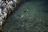 Peruvian Penguins - swimming in a tidal pool - with the Guanay Cormorants perched above with their backs to the sun.