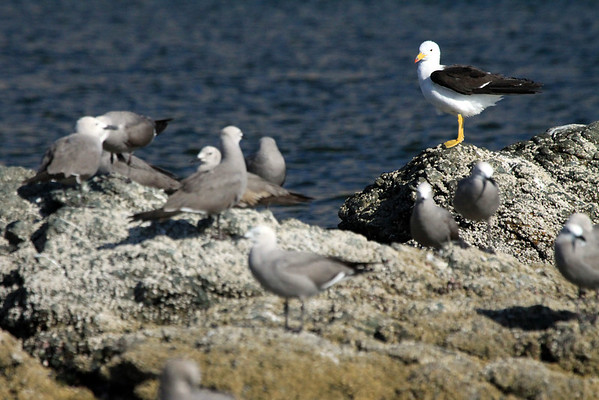 Peruvian Gull - along the rocky shoreline of Peninsula Mejillones - western Antofagasta (region).