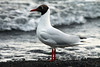 "Andean Gull - known locally as ""Gaviota Andina"" - during the mid springtime on Lago Calafquen."