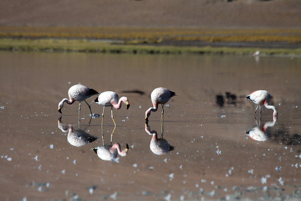 Early morning light upon the feeding Andean Flamingos.