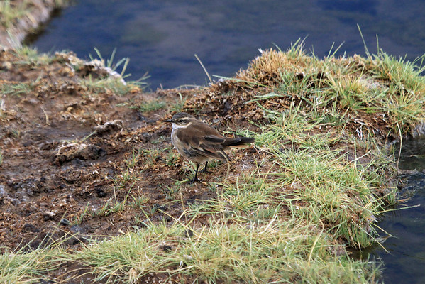 White-winged Cinclodes  - this species habitat is high-altitude grassland and rivers.