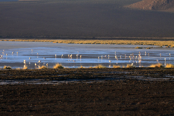 Day's first rays - upon the Flamingos, foraging for diatoms (microalage), in Salar Ascotan.