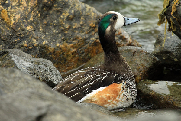 Water drops collection on the back of a Chiloe Wigeon