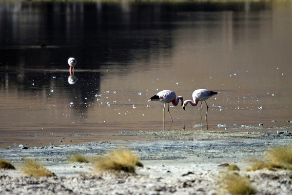From the tussock grass along the saline colored shoreline of Laguna Santa Rosa - to the plumage speckled and reddish/brown tinted calm waters (from the sun reflecting the barren rock and soil of the Cordillera de Darwin) - and the feeding Andean Flamingos there upon.