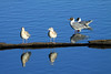 Brown-hooded Gulls- in the late afternoon sunlight at Lago Tarahuin.