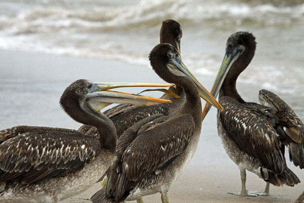 Peruvian Pelican - tossing a piece of brown algea (kelp) around in its gular pouch.