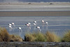 Flamingos feeding mainly on microalgae (diatoms) in the saline waters of Salar Ascotan.