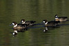 Spectacled Ducks - partially shaded and sunlit.