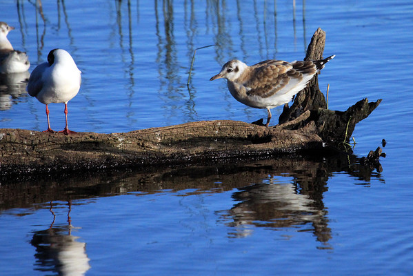 Brown-hooded Gull - a preening mature - and juvenile, at the end of the fallen tree trunk.