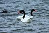 Pair of Black-necked Swans - feeding upon the Seno Ultima Experanza (Last Hope Sound).