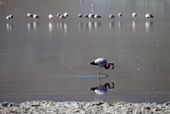 Andean Flamingo - walking along the shoreline of Laguna Santa Rosa.