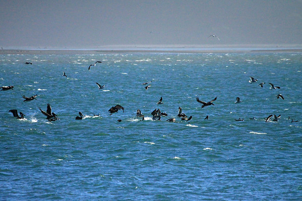 Peruvian Pelicans - Gulls and Grebes - in a feeding frenzy at Ensenada Chaiten (Chaiten Cove), at the mouth of the Rio Yelcho - just off Punta Islotes - Los Lagos (region).