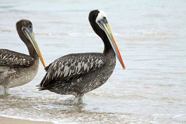 Peruvian Pelicans - two of the distinguishing features of this species as compared to the Brown Pelican, is its whiter panel on the upper wing, its more vivid bill colouring during breeding season, and much larger in weight.  This image showing both a mature and juvenile specimens.  Juvenile can be distinguished by having a brown crown, no distinguished white neck strip, and a much paler breast.