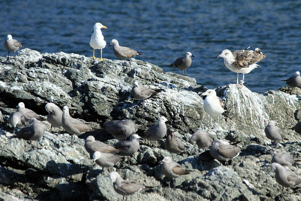Peruvian Gulls - these 3 specimens showing various stages of development -fused in amongst the Gray Gulls.
