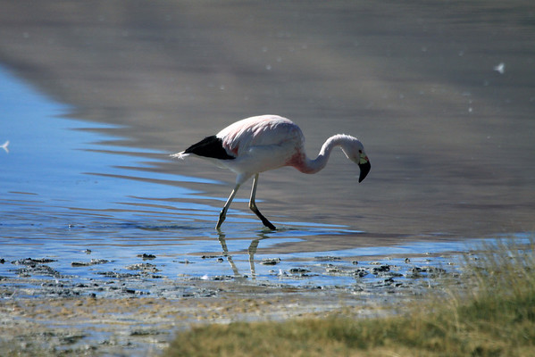 Andean Flamingo - along the azul sky and reddish/brown mountain reflection, upon Laguna Santa Rosa.