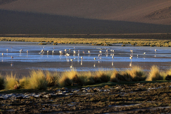 Early morning sunlight glaring upon the saline crusted soil - and the mid summertime tussock grass (Festuca orthphylla) - with the foraging Flamingos, in Salar Ascotan - and a few Vicuna (camelids)  beyond, among the tussock grass.