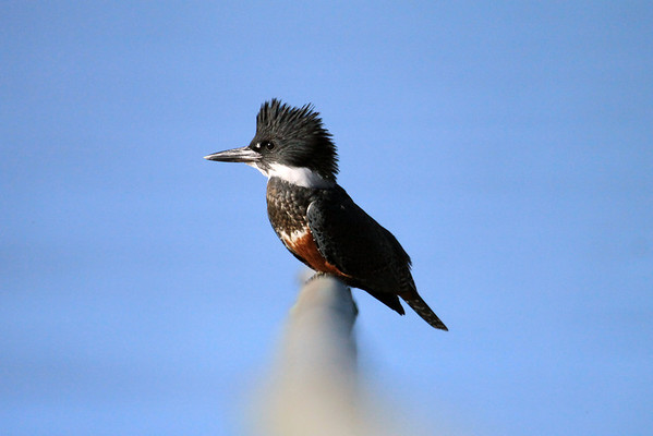 Ringed Kingfisher - is the largerst Kingfisher species in the Western Hemisphere, measuring about 16 in. (41 cm) in length, and weighing up to around 10 oz. (290 gm).