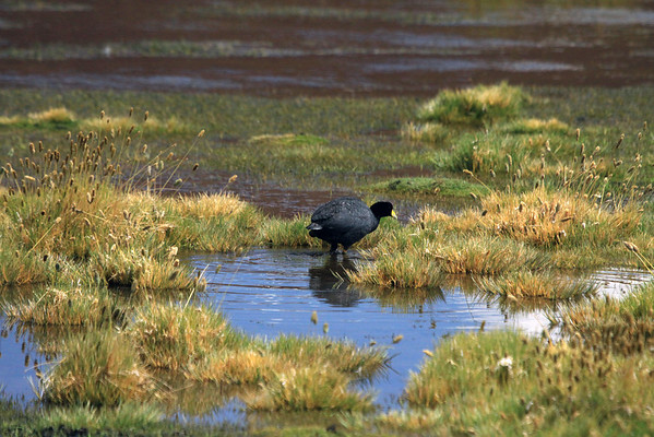 Giant Coot - foraging in the mid-summer season - this aquatic herbivore, feeds from the water surface and occasionally dives - their diet consists mostly of aquatic vegetation, and they will also graze on shore - adults are considered functionally flightless.