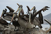 Peruvian Pelicans - perched atop the rock, with their 4-toed web feet.
