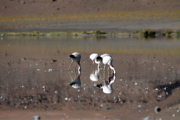 Andean Flamingos - feeding in the waters of Laguna Santa Rosa, which are speckled with early summertime plumage.