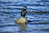 Blue-eyed Cormorant -  they feed mainly on fish and invertebrates - they are excellent divers, typically feeding for about 4 minutes, down to about 150 ft. (46 m), with recorded maximum depth of around 400 ft. (122 m).  Once underwater they are able use their powerful webbed feet to propel themselves rapidly in search of food.  The nests of these gregarious birds are built on cliff tops close to the ocean. The colonies can become quite raucous and lively affairs, especially during the breeding season.  Unlike other Antarctic birds, this species are born without any down feathers. This makes them susceptible to extreme weather and especially dependent on their parents when very young.  The main predators of this species are the Sheathbill, which steals eggs from the nest, and Leopard Seals, which attack the birds at sea.