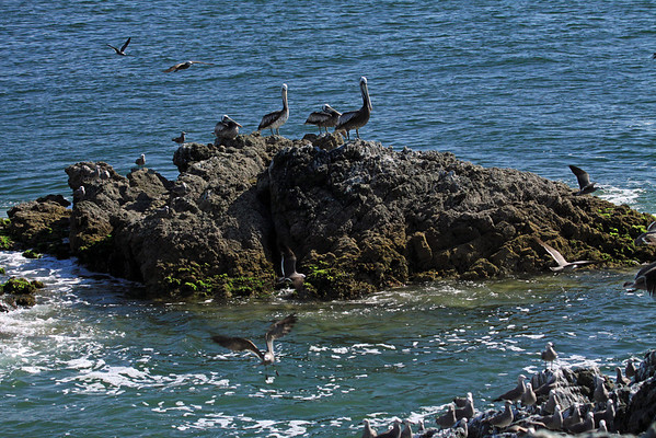 Peruvian Pelicans - amongst the flying and perched Gray Gulls - also called the Banded Gull.